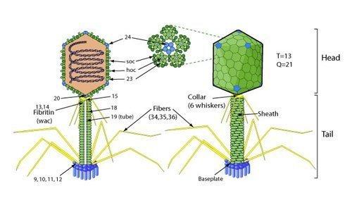 Bacteriophage.news Bacteriophage types Myoviridae T4likevirus virion ViralZone