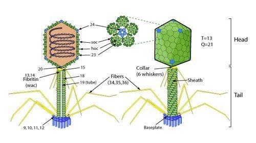Bacteriophage.news Bacteriophage types Tevenvirinae T4likevirus virion ViralZone