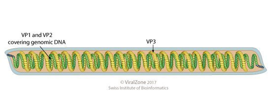 Bacteriophage.news Tristromaviridae Alphatristroma virus virion ViralZone