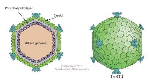 Bacteriophage.news Turriviridae virion ViralZone