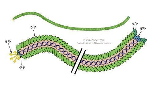 Bacteriophage.news bacteriophage type Inoviridae virion ViralZone