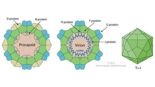 Bacteriophage.news bacteriophage type Microvirus virion ViralZone