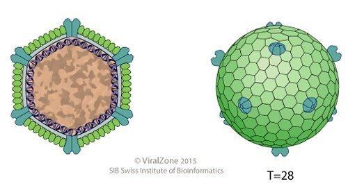 Bacteriophage.news bacteriophage type Sphaerolipoviridae virion ViralZone