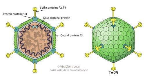 Bacteriophage.news bacteriophage type Tectiviridae virion ViralZone