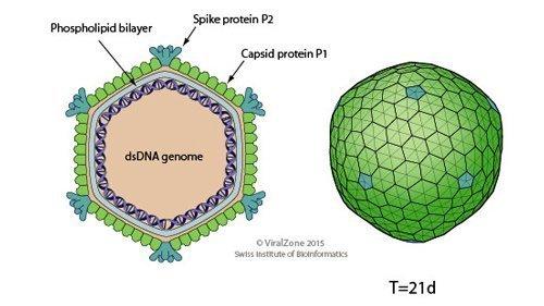 Bacteriophage.news phage types Corticoviridae virion ViralZone